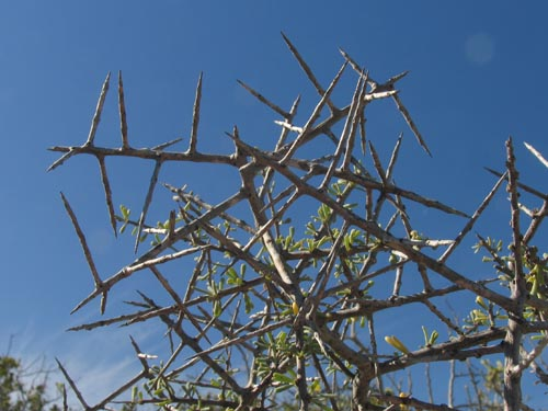 Spinose branches